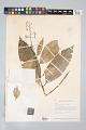View Psychotria bostrychothyrsus Sandwith digital asset number 2
