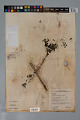 View Psychotria microdon (DC.) Urb. var. microdon digital asset number 0