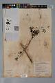 View Psychotria microdon (DC.) Urb. var. microdon digital asset number 3