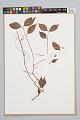 View Psychotria hoffmannseggiana var. hoffmanneseggiana (Willd. ex Roem. & Schult.) Müll. Arg. digital asset number 0