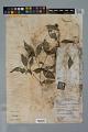 View Psychotria hoffmannseggiana var. hoffmanneseggiana (Willd. ex Roem. & Schult.) Müll. Arg. digital asset number 2