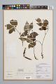 View Psychotria officinalis (Aubl.) Raeusch. ex C.I. Sandwith digital asset number 0