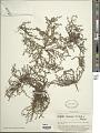 View Centipeda minima (L.) A. Braun & Asch. digital asset number 1