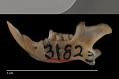 View Microdipodops megacephalus megacephalus digital asset number 3