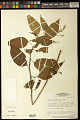 View Chamissoa altissima (Jacq.) Kunth digital asset number 0