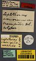 View Leptothorax (Mychothorax) acervorum crassipilis Wheeler, 1917 digital asset number 0