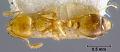 View Solenopsis bruchi Forel, 1918 digital asset number 0