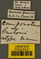 View Camponotus burtoni Mann, 1916 digital asset number 4