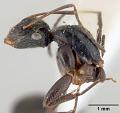 View Camponotus burtoni Mann, 1916 digital asset number 5
