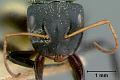 View Camponotus (Myremurynota) christophei Wheeler & Mann, 1914 digital asset number 1