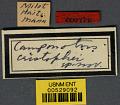 View Camponotus (Myremurynota) christophei Wheeler & Mann, 1914 digital asset number 2