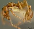View Aphaenogaster texana flemingi digital asset number 4