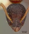 View Dolichoderus plagiatus var. inornatus Wheeler, 1905 digital asset number 1