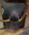 View Camponotus (Myrmogonia) lauensis Mann, 1921 digital asset number 1