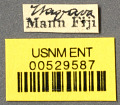 View Camponotus (Myrmogonia) lauensis Mann, 1921 digital asset number 2