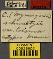 View Camponotus (Myrmogonia) schmeltzii var. loloma Mann, 1921 digital asset number 2