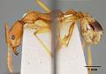 View Aphaenogaster (Deromyrma) phillipsi digital asset number 4