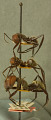 View Camponotus (Myrmothrix) wheeleri Mann, 1916 digital asset number 1