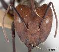 View Camponotus (Myrmothrix) wheeleri Mann, 1916 digital asset number 3