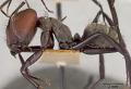 View Camponotus (Myrmothrix) wheeleri Mann, 1916 digital asset number 4