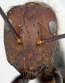 View Camponotus (Myrmothrix) wheeleri Mann, 1916 digital asset number 6
