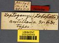View Leptogenys (Lobopelta) antillana Wheeler & Mann, 1914 digital asset number 2