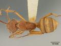 View Dendromyrmex chartifex mamoreensis Mann, 1916 digital asset number 0