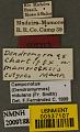 View Dendromyrmex chartifex mamoreensis Mann, 1916 digital asset number 2