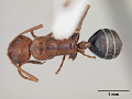 View Camponotus erythrocephalus Clouse, 2007 digital asset number 0
