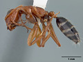 View Camponotus erythrocephalus Clouse, 2007 digital asset number 4