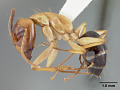 View Camponotus eperiamorum Clouse, 2007 digital asset number 4
