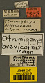 View Strumigenys brevicornis Mann, 1922 digital asset number 2