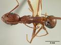View Aphaenogaster sonorae Pergande, 1893 digital asset number 0