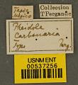 View Pheidole carbonaria Pergande, 1896 digital asset number 2