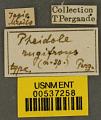 View Pheidole rugifrons Pergande, 1896 digital asset number 2
