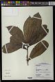 View Daphnopsis granvillei Barringer digital asset number 0