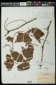 View Cissus trigona Willd. et al. digital asset number 0