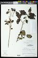 View Helicteres guazumifolia Kunth digital asset number 0