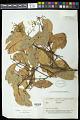 View Caraipa densiflora digital asset number 0