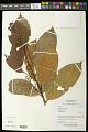 View Rinorea guianensis Aubl. digital asset number 0