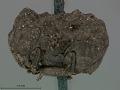 View Neochlamisus bimaculatus Karren, 1972 digital asset number 4