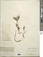 View Centaurea pullata L. digital asset number 1