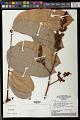 View Thyrsodium schomburgkianum Benth. digital asset number 0