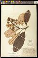 View Anacardium spruceanum Benth. ex Engl. digital asset number 0