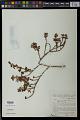 View Comolia ovalifolia Triana digital asset number 0