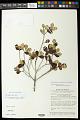 View Marlierea uniflora McVaugh digital asset number 0
