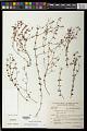 View Siphanthera arenaria (DC.) Cogn. digital asset number 0