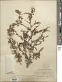 View Mimosa biuncifera Benth. digital asset number 1