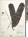 View Entada polystachya var. polyphylla (Benth.) Barneby digital asset number 1