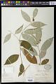 View Solanum argenteum Dunal digital asset number 0